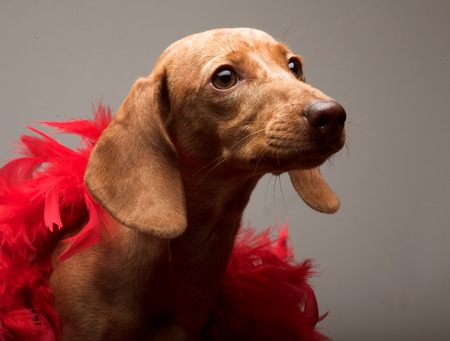 такса: puppy rate  with red boa