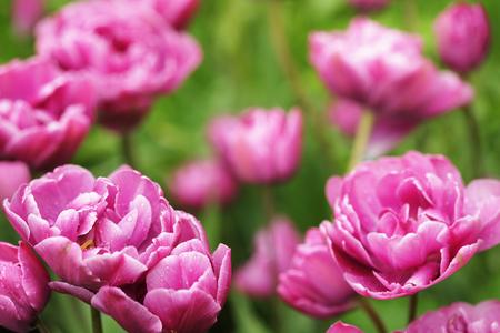 Piękne różowe kwiaty piwonia w rozkwicie w ogrodzie w spr