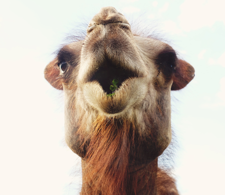 Head of a camel against the sky