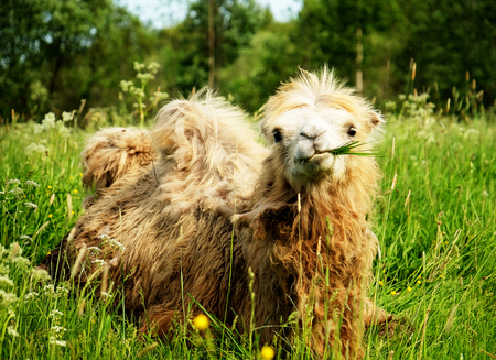 Camel chewing food with open mouth lying isolated on green grass
