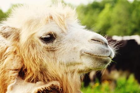 Camel on green grass, summer Stock Photo
