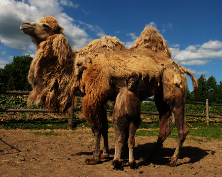 Mother camel with baby, outdoor, summer time Stock Photo