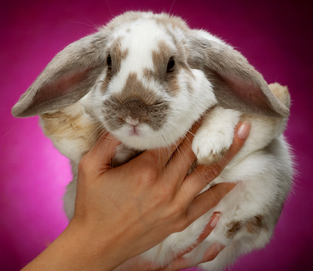 Hands holding a bunny on pink  background