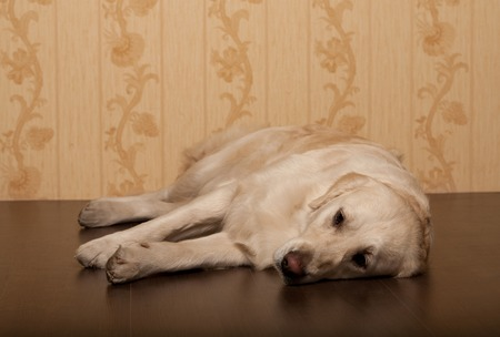 golden retriever dog photographed at home