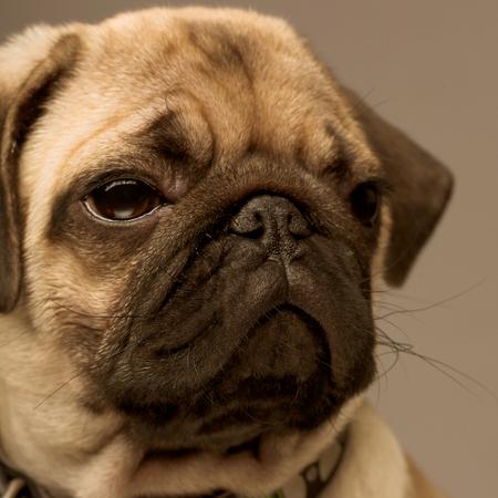 Puppy pug close up