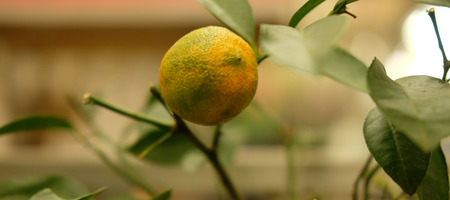 decorative trees of yellow lemons grow in pots 免版税图像
