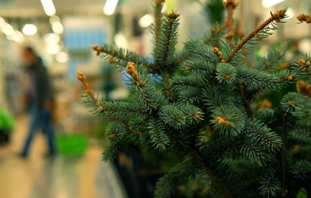 Saplings of pine, spruce, fir, sequoia and other coniferous trees in pots in plant nursery. Shop of plants, garden store. Close up picture. Stock fotó - 129827043