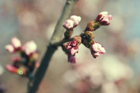 Sakura in the spring garden. Pink flowers. Close up.