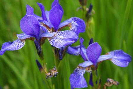 Close-up of iris flower, summer day Фото со стока