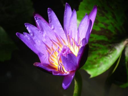 Purple Lotus Banque d'images
