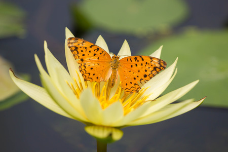 garden flower: Butterfly on Lotus Stock Photo