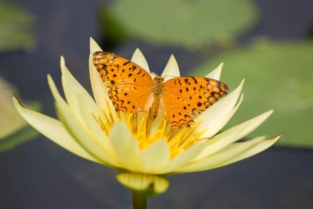 patrones de flores: Mariposa en Lotus