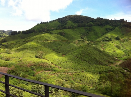 boh: Boh tea plantation in Cameron Highland