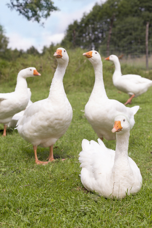 White geese on green field Stock Photo