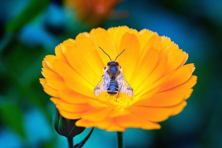 Mimicric bee on a blossom of calendula. Macro.