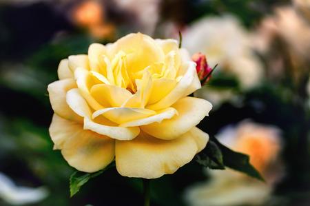 Yellow rose blossom. Close up.