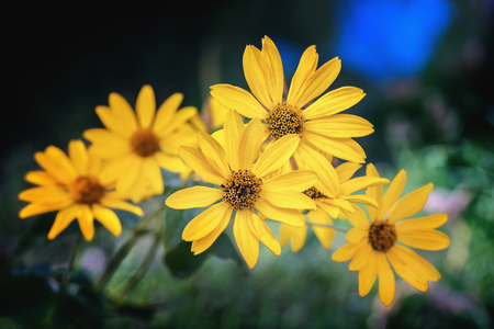 Arnica herb blossoms on a dark background. Close view. Stock Photo