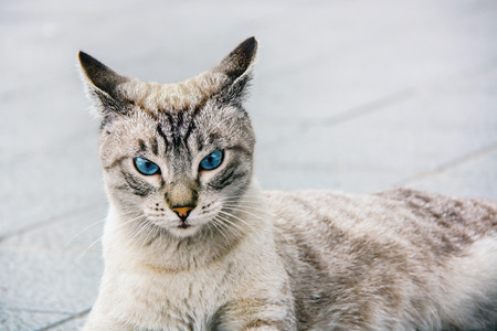 Portrait of tabby cat with blue eyes Stockfoto