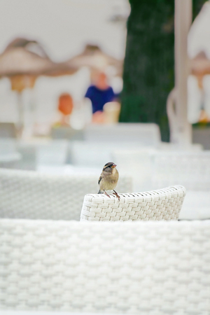 Close up of speckled gray sparrow on a white chair against blurred background Stockfoto