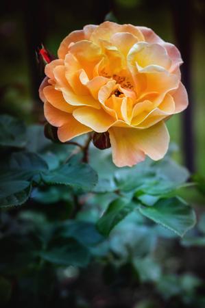 Yellow rose blossom. close up. Stockfoto