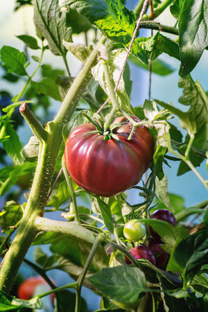 Red big ripe tomato on a branch. Close up.