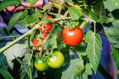 Three red and two green tomatoes on a branch. Close up.