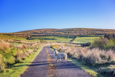 Landscape with sheeps on the road in a county Cork. Ireland.