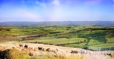 Landscape with sheeps in   farm fields. County Cork, Ireland.