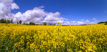Rape fields on sunny day in a county Cork. Panoramic view. Stockfoto