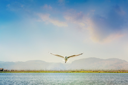 Herring gull on the fly in the warm sky. Myanmar, Asia.