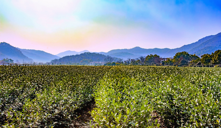 Green tea plantation and a hills in China Stockfoto