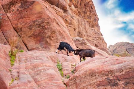 Mountain goat duel in Petra mountains. Jordan.