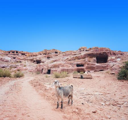 Mountain goat  in Petra mountains. Jordan.