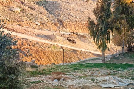 Goats on a mountain road. Jordan. Stockfoto
