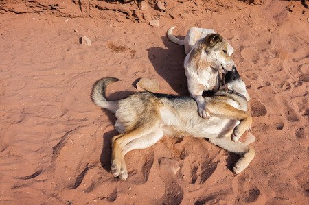 Two dogs on a red sand in Petra Mountains. Jordan.