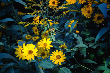 Arnica flowers blossoms in autumn. Close view. Stockfoto