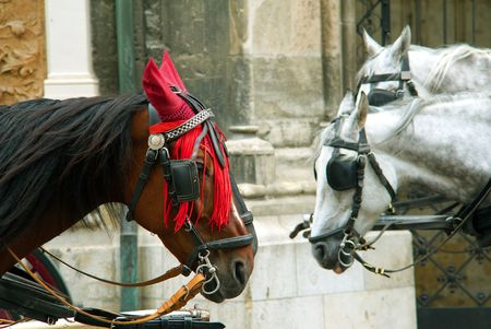 girth: Heads of brown and gray horses with harness