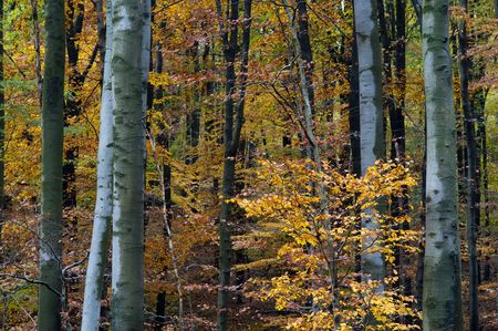 folio: Tiny tree with yellow folio in autumn forest