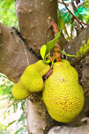 jackfruit photo