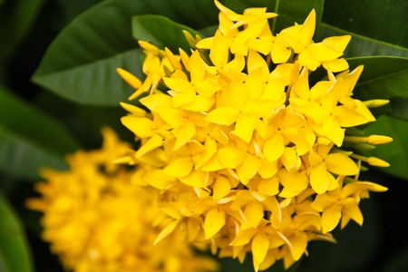 Ixora chinensis photo