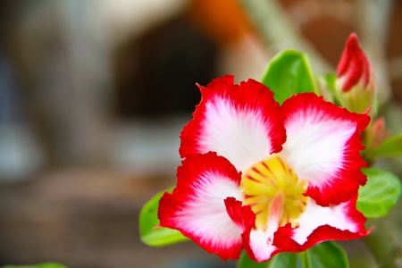 Impala Lily Adenium Stock Photo - 13132035