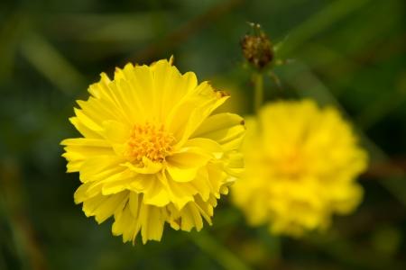 Marigold photo