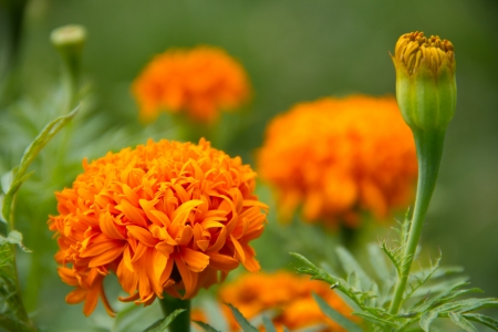 Yellow flower,Marigold Stock Photo - 14325865