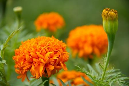 tagetes: Yellow flower,Marigold Stock Photo