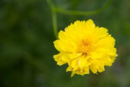 Yellow flower,Marigold photo
