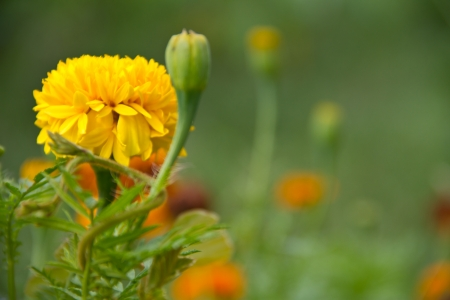 Yellow flower,Marigold photo