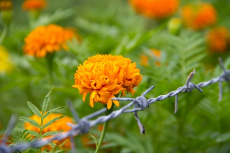 Yellow flower,Marigold Stock Photo - 14325872