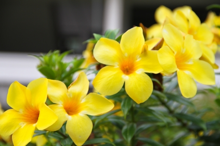 Allamanda, Golden Trumpet photo
