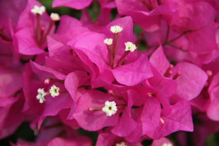 Bougainvillea or Bougainvillea spp photo