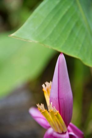 Banana flower photo